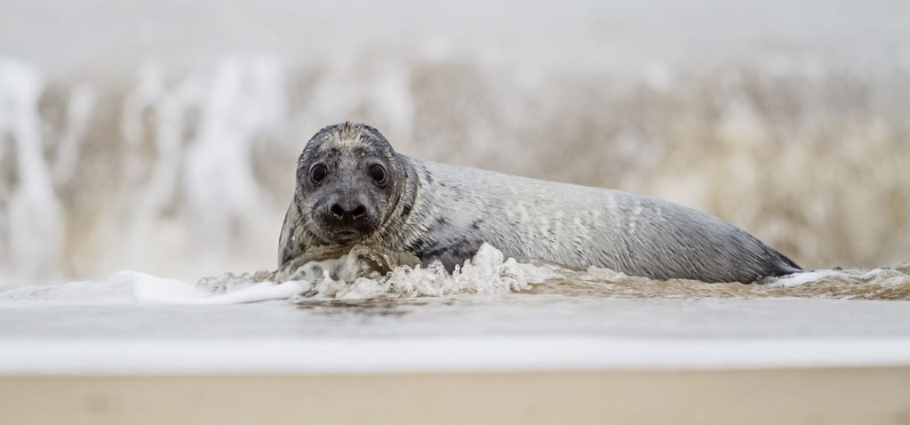 Where to see seals in North Norfolk